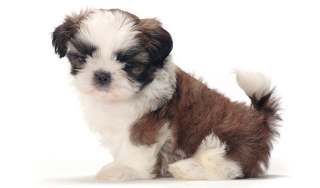 Kelta Shih Tzu - Find Breeders, Shih Tzu Puppies, Pictures and More